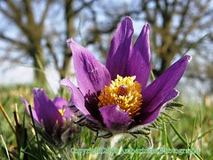 Pasque Flower - Mllegrd Sweden (Amberinsea) Tags: green nature beautiful petals spring purple sweden anemone blommor fragile rare backsippa mllegrd vrblomma amberinseaphotography