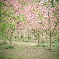 (_cassia_) Tags: trees blossom leaves spring grass ground branches pink green dreamy fresh