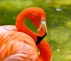 Orange Flamingo (jetrated) Tags: orange bird dutch animal island flamingo curacao tropical caribbean curaao isla curazao eiland netherlandsantilles caribe tropisch nederlandseantillen korsou korsow allrightsreservedcopyrightchaimfrank