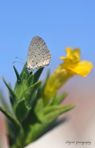 Tiny Grass Blue(Zizula gaika)