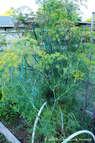 Gangly dill plant