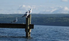 Sentry gulls on duty at Seneca Lake