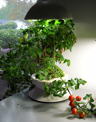 Aerogarden - Cherry Tomatoes