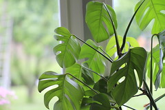 Green house plant (!.Keesssss.!) Tags: green window nature netherlands horizontal closeup photography leaf day branch houseplant nopeople indoors growth freshness gettyimages royaltyfree colorimage fragility focusonforeground theflickrcollection keessmans 215ksgetty