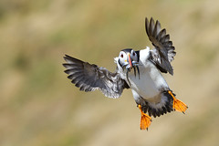 Puffin (Peter J Berry) Tags: island sand feeding ngc flight puffin eels skomer natureselegantshots mygearandme flickrsportal