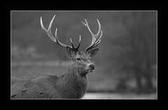 monochrome stag (felt_tip_felon) Tags: autumn portrait bw monochrome blackwhite stag antlers visualart reddeer stags rutting flickrbestpics flickrsmasterpieces