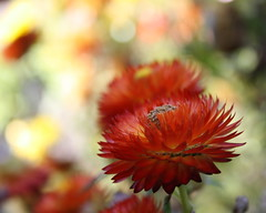 I  Sundays ... (Mary Trebilco) Tags: flowers red orange flower macro nature daisies canon garden bokeh sunday explore daisy tasmania devonport strawflower victoriaparade paperdaisy hsss sooc devonportcouncilgarden canoneos1000d sunshinesundays scarletsundays