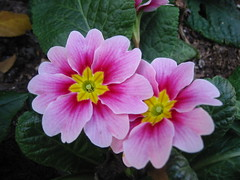 PRIMROSE primula vulgaris ~ Beauty at The Huntington Botanical Gardens (Angie Naron) Tags: flowers hearts primula primrose huntingtonbotanicalgardens prettypetals