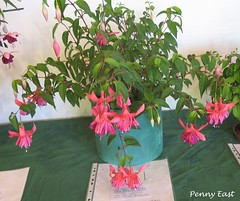 Fuchsia 'Peppermint Stick' Des-1 (pennyeast) Tags: show flower nature southafrica fuchsia capetown 2008 onagraceae wcfs papaalphaecho