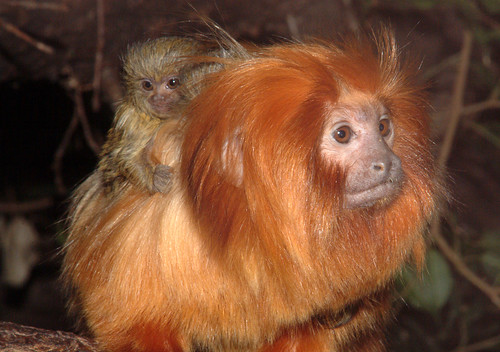 Golden Lion Tamarin with Pygmy Marmoset baby