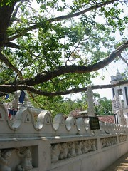 Negombo, Holy Tree