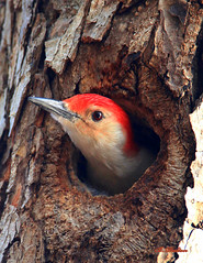 Red-bellied Woodpecker(s) (William  Dalton) Tags: birds explore redbelliedwoodpecker woodpeckers melanerpescarolinus naturesfinest featheryfriday redbelliedwoodpeckers explore230 impressedbeauty avianexcellence slbnesting thewonderfulworldofbirds nestingredbelliedwoodpeckers treetrunknest
