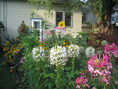 is this love? (indee) Tags: love garden remember cottage hobbithouse cleome gardenofearthlydelights summergarden indee