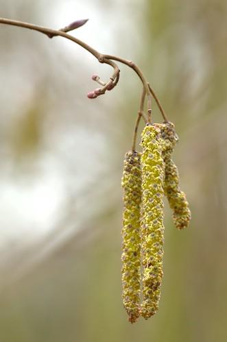 Alnus glutinosa - Zwarte Els, Common Alder