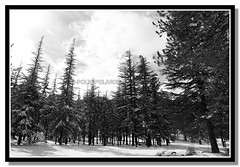 forest (Polis Poliviou) Tags: morning blue trees winter sky white mountain snow black cold tree nature monochrome beautiful weather pine clouds forest canon wonderful landscape eos frozen photo blackwhite flickr frost skiing cyprus pines snowboard february olympos snowglobe polis troodos nicosia naturesfinest supershot specland excellentscenic mediterraneanpines mediterraneanpine poliviou polispoliviou cypruspine troodospine
