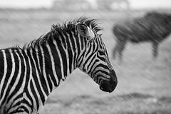 [フリー画像] [動物写真] [哺乳類] [馬/ウマ] [シマウマ] [モノクロ写真] [雨の風景]     [フリー素材]