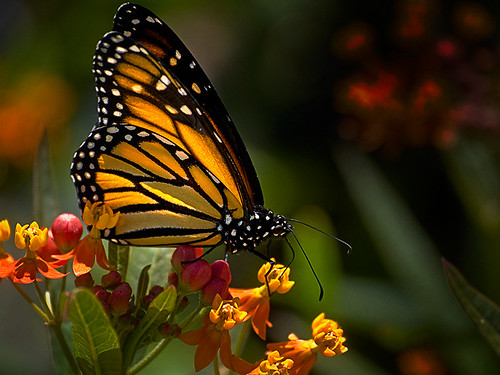 monarch on milkweed (explored)