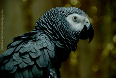Taaatooo (radiant guy) Tags: bird gold grey bokeh african feather parrot africangreyparrot africangrey    bokehphotography