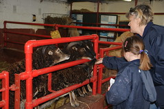 DSC_0838 (incurable_hippie) Tags: cute wool animals community sheep coat sheffield straw horns curly hay breed stable soaysheep heeleycityfarm