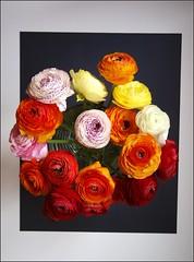 The last ones (katrin glaesmann) Tags: flower framed ranunculus bouquet ranunkel persianbuttercup ranunculusasiaticus asiatischerhahnenfus
