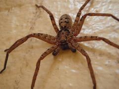 Huntsman (rubberman) Tags: bug insect spider huntsman 8legs