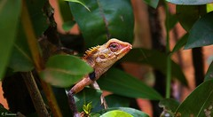 (R.Sreeram) Tags: leaves garden shy kerala lizard hiding kollam naturesfinest calotes sreeram kovoor mywinners abigfave platinumphoto theunforgettablepictures rubyphotographer