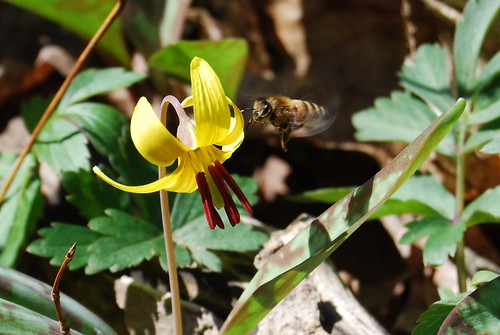 bee in trout lily