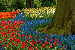 At the Foot of the Magic Tree (JLMphoto) Tags: blue red orange holland green netherlands yellow bravo tulips front explore page bulbs hyacinth keukenhof magictree jlmphoto vosplusbellesphotos bloomseason