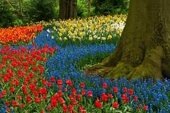 At the Foot of the Magic Tree (JLMphoto) Tags: blue red orange holland green jeff netherlands yellow bravo tulips front explore page bulbs hyacinth keukenhof magictree jlmphoto vosplusbellesphotos bloomseason milsteen