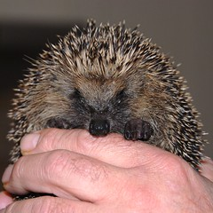 365 day216 visitor (Ruth Flickr) Tags: cute hand young hedgehog 365 day216 igel hrisson hedgepig project365 dsc9173 alittlebeauty buchstabenfotogruppe