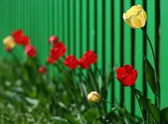 Tulbibokeh (grandeallegro) Tags: season spring bokeh mai printemps aed lill tulp kevad roheline punane vrvid aastaaeg