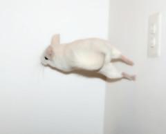 Speed Demon (wisely-chosen) Tags: jumping may gimp chinchilla lightning 2009 leaping hopping picnik bouncingoffthewalls popcorning adobephotoshopcs4 pinkwhitechinchilla