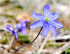 Hepatica nobilis (Anemone hepatica, Erba trinit) (paolo-55) Tags: nikon d300 hepaticanobilis naturesfinest anemonehepatica 105mmvrmicronikkor