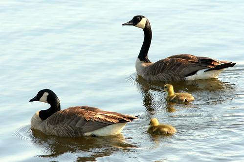 Canada Goose Family 20090510
