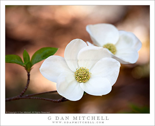 Photo of the Day: Dogwood Blossoms and Branch by G. Dan Mitchell