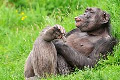 [フリー画像] [動物写真] [哺乳類] [猿/サル] [チンパンジー] [あっかんべー!]      [フリー素材]