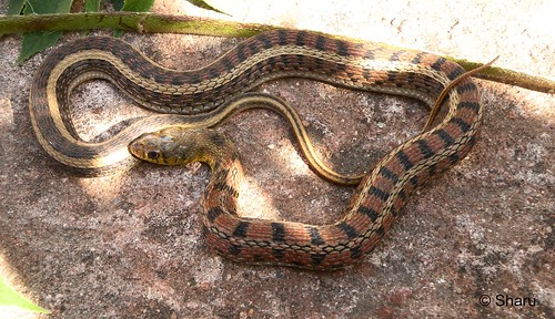 Black-striped Keelback