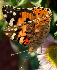 'Painted Lady' (tigertina1) Tags: red nature butterfly englishcountrygarden digitalcameraclub beautysecret qualitypixels savebeautifulearth