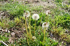 spring 09 pics 004 (dadootdoots) Tags: outdoors spring dandelions
