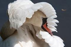 [フリー画像] [動物写真] [鳥類] [野鳥] [白鳥/ハクチョウ]       [フリー素材]