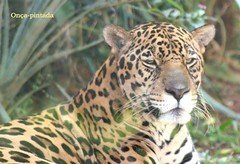 "Onça-pintada (panthera-onca) (tinica50) Tags: felino jaguar 1001nights naturesfinest blueribbonwinner onçapintada mywinners faunabrasileira ""isawyoufirst"" theunforgettablepictures newacademy picturefantastic goldstaraward rubyphotographer"
