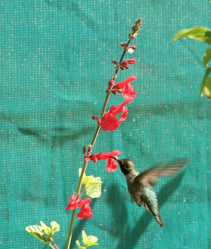 Hummingbird on Salvia
