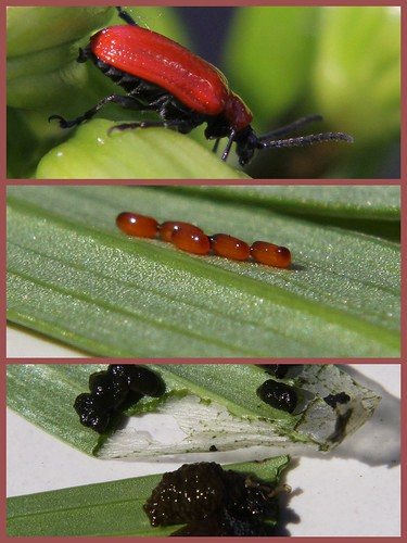 Red Lily Beetle, Eggs, Larvae
