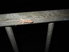 lil' gecko (istolethetv) Tags: hongkong reptile adorable gecko 香港 babygecko 홍콩 herpetile xiānggǎng ホンコン chinesegecko 4drew gekkochinensis bo2010 tinylittlebabysizedgecko gekkocinensis grayschinesegecko 中國壁虎 bothese 향항 hiongkáng