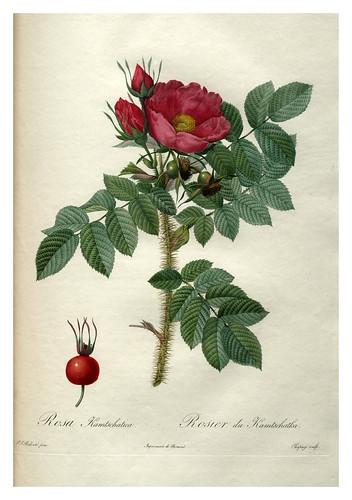 005-Les roses 1817-1824- Pierre-Joseph Redouté