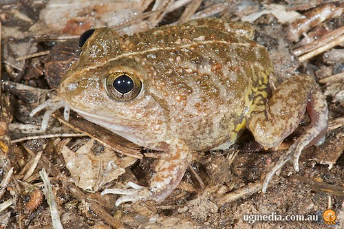 Hidden-ear frog (Cyclorana cryptotis)