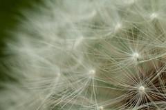 Dandylion (wsilver) Tags: flowers flower macro spring tubes creative lion commons seeds creativecommons dandy extnesion