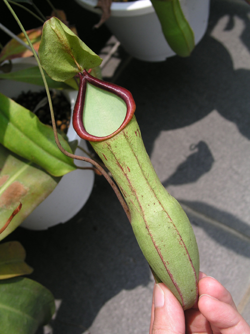20100521UnknownNepenthes (1)