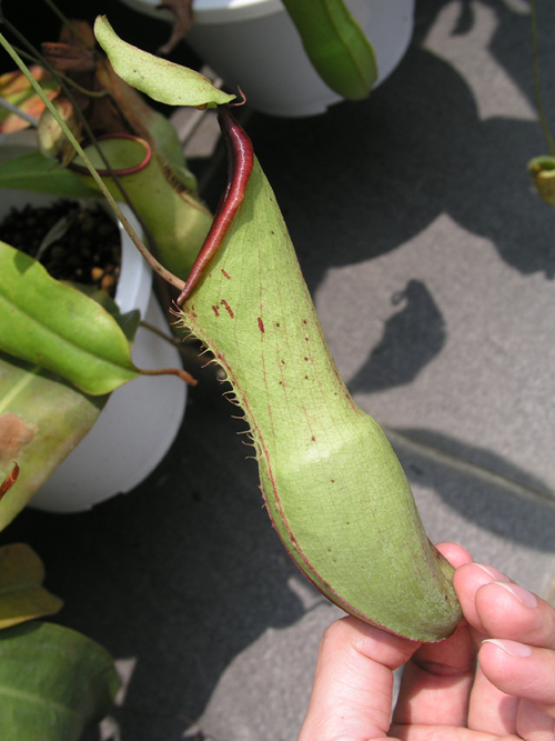 20100521UnknownNepenthes (2)