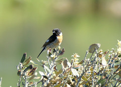 The ever-watchful Stonechat (SteveJM2009) Tags: uk sunlight detail bird eye nature spring wildlife may dorset perch bournemouth springtime hengistbury 2010 stevemaskell rspb stonechat hengistburyhead